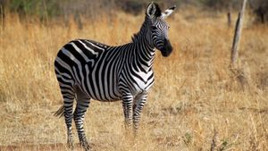 What Is a Zebra's Habitat?