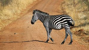 Are Zebras White With Black Stripes?