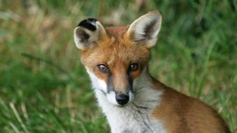 What Is a Baby Fox Called?
