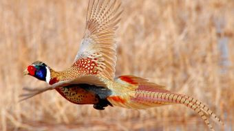 Can Pheasants Fly?