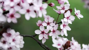 What Do Cherry Blossoms Represent in Japanese Tattoos?