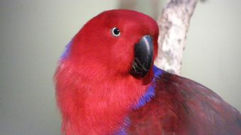 What Is an Eclectus Bird?