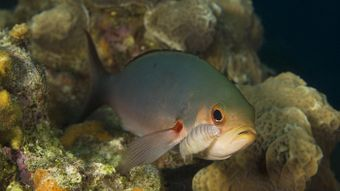 What Is an Example of Parasitism in Coral Reefs?