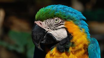 What Is a Macaw's Predator?