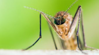 What does the male mosquito do?