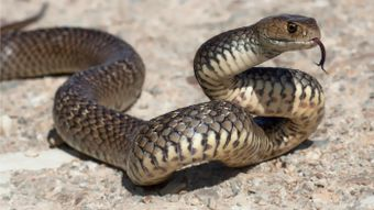 How many types of venomous snakes live in Australia?