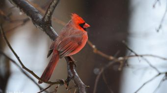 What Is the Natural Habitat of the Cardinal?