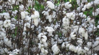 How Is Cotton Made Into Fabric?