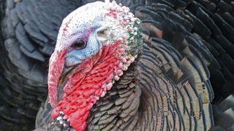 What Is the Red Flap on a Turkey's Neck?