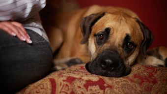 What is the cause of phantom pregnancy in dogs?