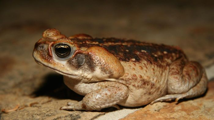 What Is a Marine Toad?