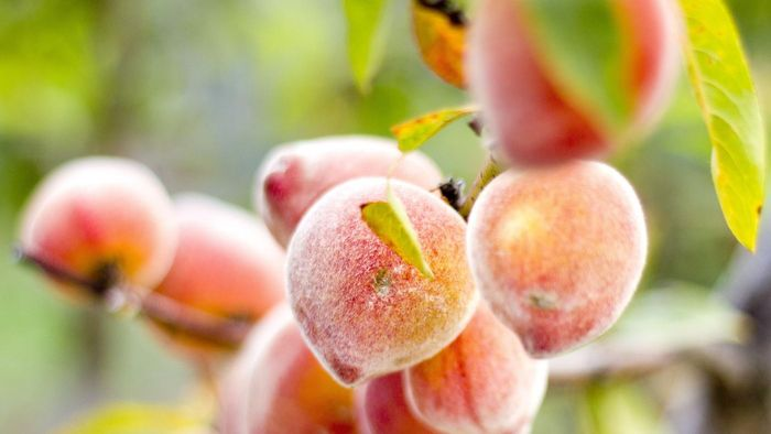 What Are the Differences Between a Nectarine and a Peach?