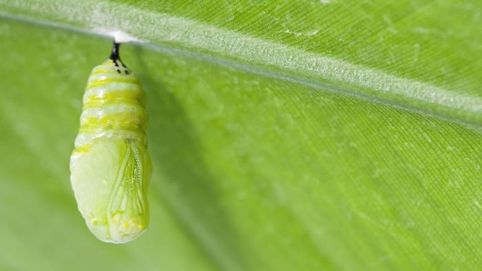 What Is the Difference Between a Chrysalis and a Cocoon?