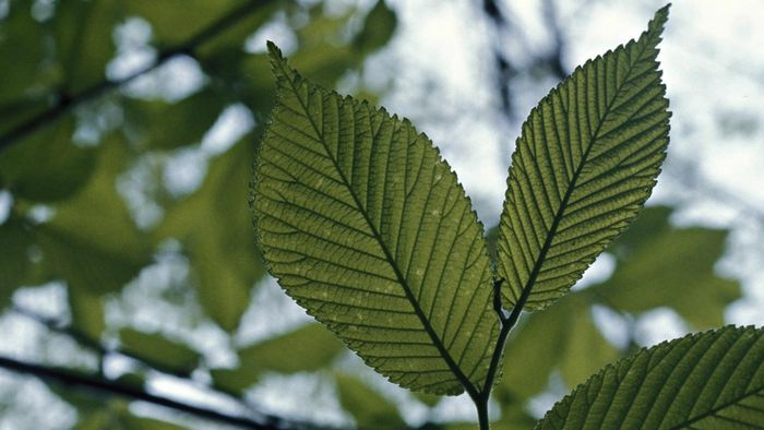 What are the benefits of drinking slippery elm tea?