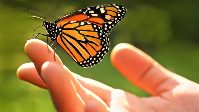 What Are Some Facts About Monarch Butterflies?