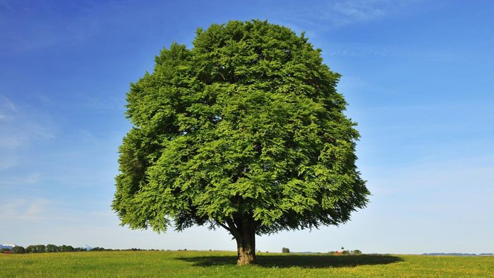 What are the basics of beech tree identification?