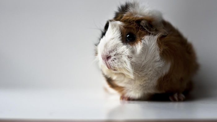 What Is an Abyssinian Guinea Pig?