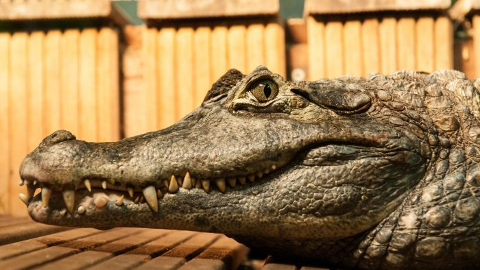 What Are the Adaptations of a Crocodile?