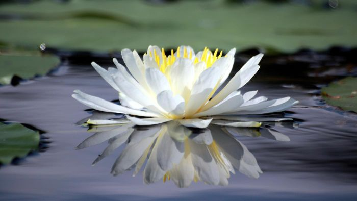 What Are Some Adaptations of the Water Lily?