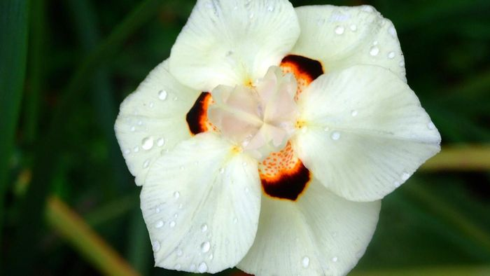 What is the African iris?