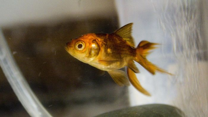 At What Age Do Goldfish Change Color From Black to Gold?