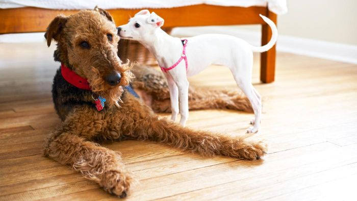 What Is an Airedale Terrier Like?
