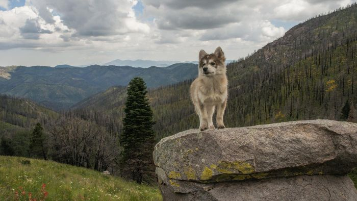 What Is an Alaskan Malamute Wolf Mix?