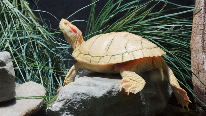 What Is an Albino Red-Eared Slider?