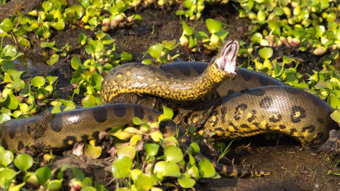 What Does an Anaconda Eat?