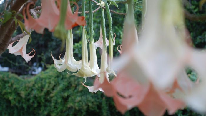 Is the angel trumpet tree poisonous?