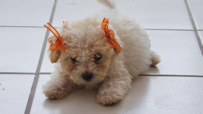What Animal Rescues Have Bichon Frise Puppies up for Adoption?