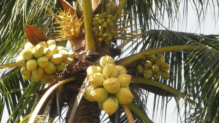 What Animals Eat Coconuts?