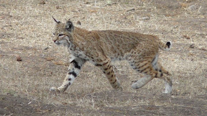 What Animals Are Natural Predators of the Bobcat?
