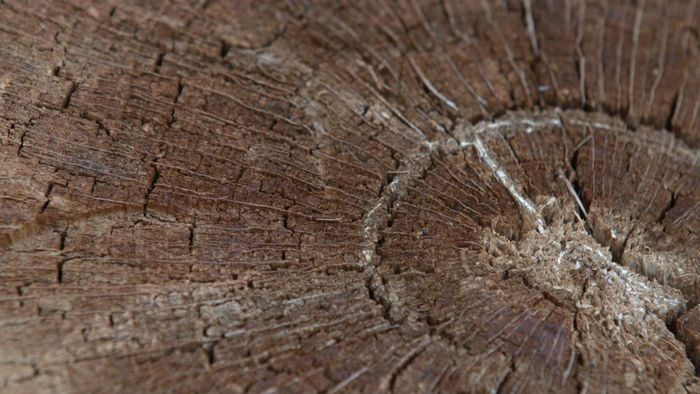 How do annual rings form in woody stems?