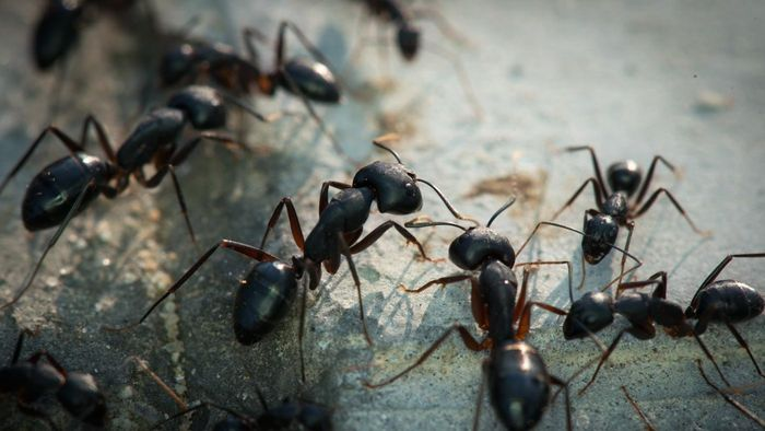 Do Ants Carry Disease?