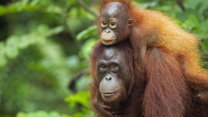 What Is the Lifespan of an Ape?