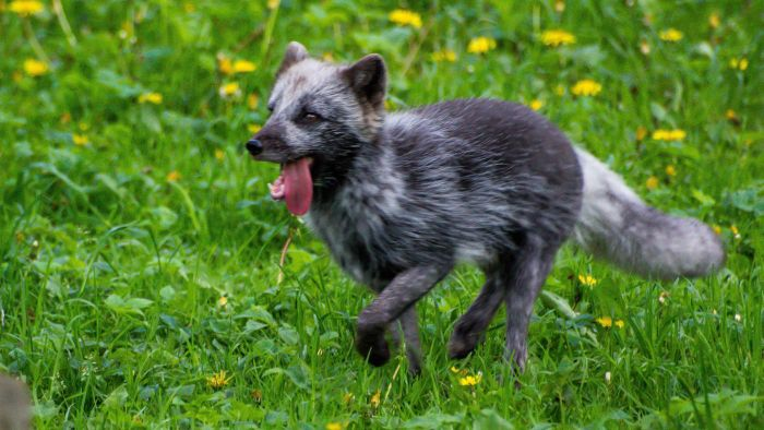 Why Do Arctic Foxes Change Colors?