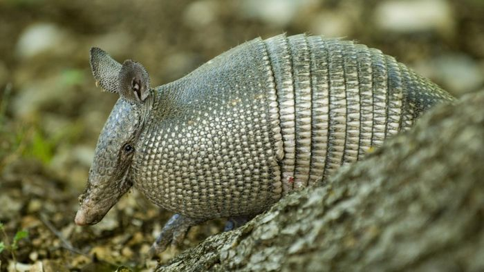 Does an Armadillo Make a Good Pet?