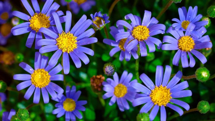 What Are Aster Flowers?