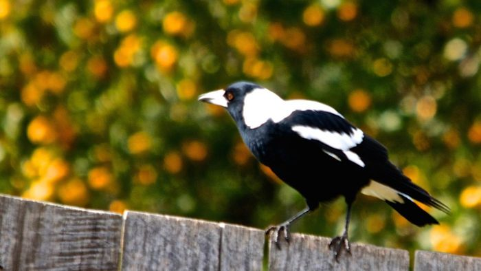 What Is an Australian Magpie?