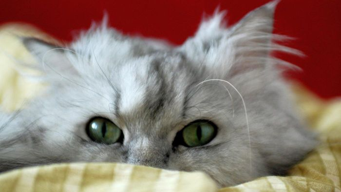 What Is the Average Life Span of a Persian Cat?