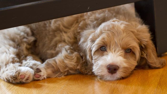 What Is the Average Size of a Labradoodle?