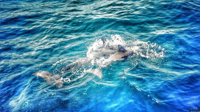 What Is a Baby Dolphin Called?