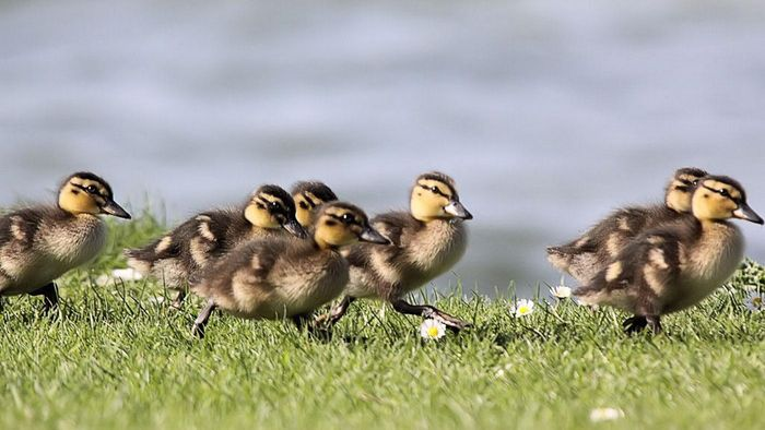 What do baby ducks eat?