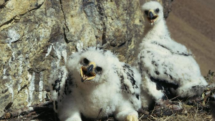 What Are Baby Eagles Called?