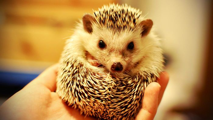 Are Baby Hedgehogs Born With or Without Quills?