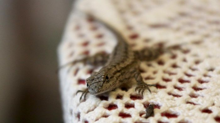 What Do Baby Lizards Eat?