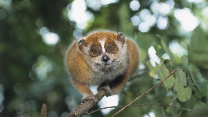 What Is a Baby Loris?