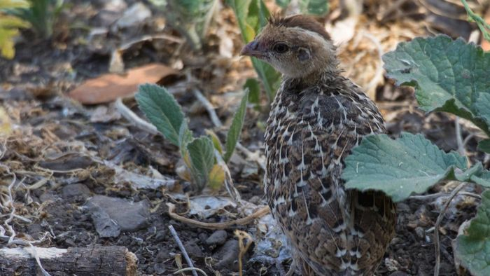 What Do Baby Quails Eat?