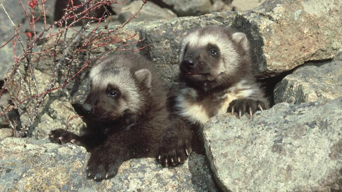 What Is a Baby Wolverine Called?